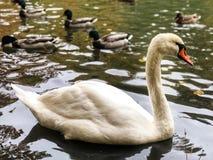 cygne, oiseaux, nature image stock