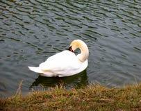 Cygne par le rivage d'un étang photos libres de droits