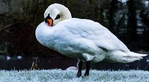 Cygne par un lac en hiver Image libre de droits