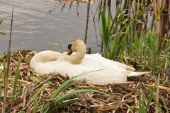 Cygne parmi les roseaux sur les oeufs de attente de nid à hacher Photos libres de droits