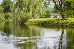 Cygne pataugeant majestueux en rivière calme en Irlande Images libres de droits