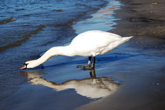 Cygne potable Image stock