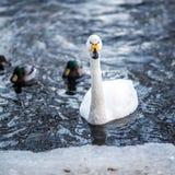Cygne sérieux dans le courant à froid d'hiver photographie stock