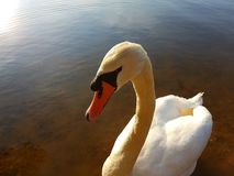 Cygne sauvage images stock