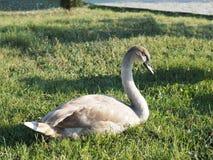 Cygne sauvage sur une pelouse verte photos libres de droits