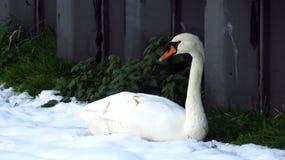 Cygne se reposant dans la neige pendant l'hiver Photos stock