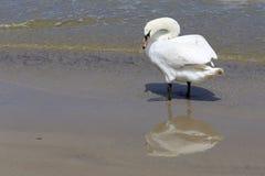 Cygne seul sur la plage Photos libres de droits