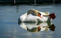 Cygne simple avec son immage de miroir chez le Lac de Constance Photos stock