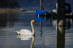 Cygne simple avec son immage de miroir chez le Lac de Constance Photographie stock libre de droits