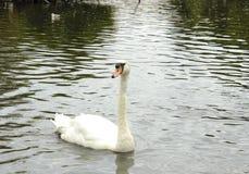 Cygne simple sur un lac Images libres de droits