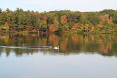 Cygne sur Autumn Pond Photographie stock