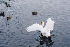 Cygne sur l'étang Photos stock