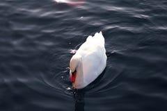 Cygne sur l'eau Image libre de droits