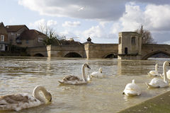 Cygne sur le fleuve Photo stock