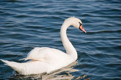 Cygne sur le lac Photo stock