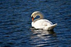 Cygne sur le lac Photos libres de droits