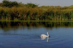 Cygne sur le lac Photo libre de droits