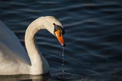 Cygne sur le lac Como image stock