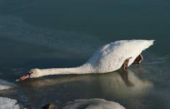 Cygne sur le lac figé Photo libre de droits