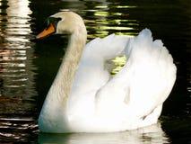 Cygne sur le lac florida Photos libres de droits