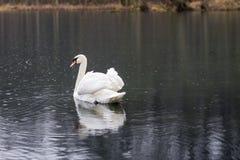 Cygne sur le lac un jour pluvieux Oiseaux de flottement sur le ` s su de lac Image libre de droits