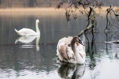 Cygne sur le lac un jour pluvieux Oiseaux de flottement sur le ` s su de lac Photos stock
