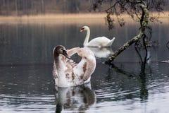 Cygne sur le lac un jour pluvieux Oiseaux de flottement sur le ` s su de lac Images stock