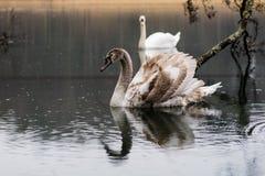 Cygne sur le lac un jour pluvieux Oiseaux de flottement sur le ` s su de lac Image stock