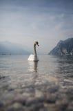 Cygne sur le policier de lac en Italie Photos libres de droits