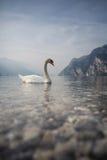 Cygne sur le policier de lac en Italie Images stock