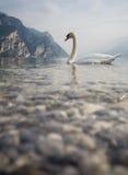 Cygne sur le policier de lac en Italie Image libre de droits