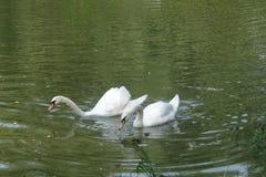 Cygne sur le yampil Ukraine de village de lac Images stock