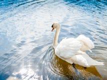 Cygne sur miroiter le lac en été Images libres de droits