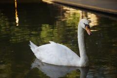 Cygne sur un lac dans le zoo de Changhaï photo libre de droits