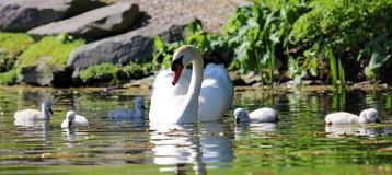 Cygne unique avec des bébés dans un lac, haute photo de définition de cet aviaire merveilleux en Amérique du Sud photo libre de droits