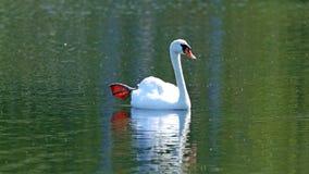 Cygne unique dans un lac, haute photo de définition de cet aviaire merveilleux en Amérique du Sud images stock