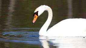 Cygne unique dans un lac, haute photo de définition de cet aviaire merveilleux en Amérique du Sud image libre de droits