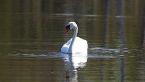 Cygne unique dans un lac, haute photo de définition de cet aviaire merveilleux en Amérique du Sud photo libre de droits