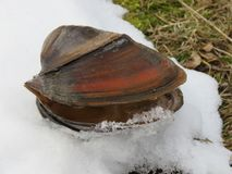 Cygnea del anodonta della vongola sulla neve fotografie stock libere da diritti