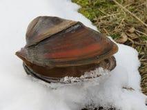 Cygnea van tweekleppig schelpdieranodonta op de sneeuw royalty-vrije stock foto's