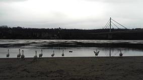 Cygnes à la rivière Danube Photographie stock libre de droits