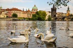 Cygnes à Prague Photographie stock