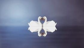 Cygnes Photographie stock libre de droits