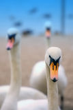 Cygnes Photo stock