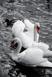 cygnes Image libre de droits