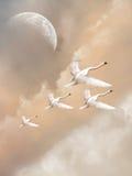 cygnes Photos libres de droits