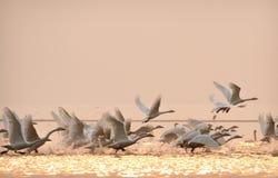 Cygnes photo libre de droits