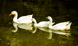 cygnes Images stock