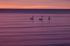 Cygnes au coucher du soleil Photos libres de droits
