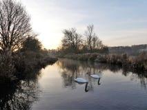 Cygnes au lever de soleil sur les échecs de rivière au fond de Sarratt, Hertfordshire image stock